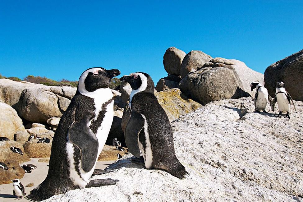 Pingviner på Boulders beach, Kaphalvön