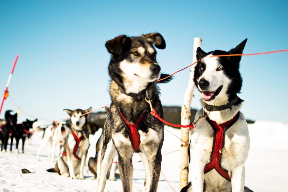 Hundspannstur. Foto av Martin Smedsen