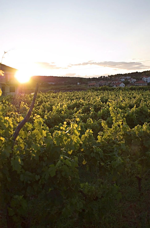 Vin odlas och säljs överallt i Jelsa